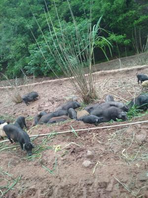 重庆藏香猪 100斤以上