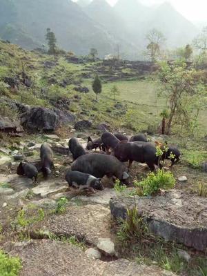 这是一张关于黑土猪 80斤以上 梅花黑土猪60斤以上的产品图片