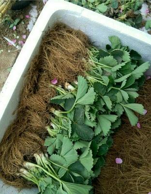 山东泰安天仙醉草莓苗 20~30公分 地栽苗