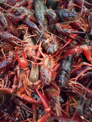 这是一张关于红壳小龙虾 人工殖养 2-4钱的产品图片
