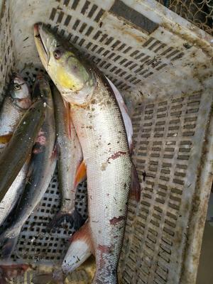 江西新余野生青尾鱼 1.5-4公斤 野生