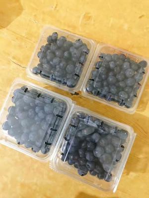 浙江绍兴灿烂蓝莓 10 - 12mm以上