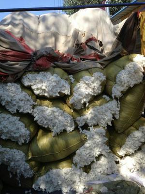 山东枣庄籽棉
