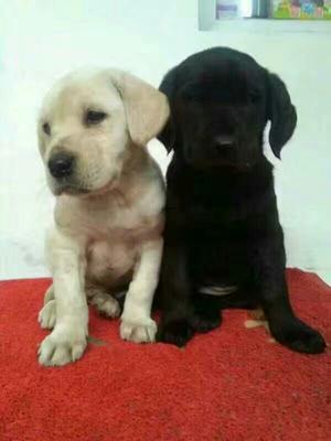 这是一张关于拉布拉多犬 精品拉拉,疫苗驱虫都已做完,公母都有的产品图片