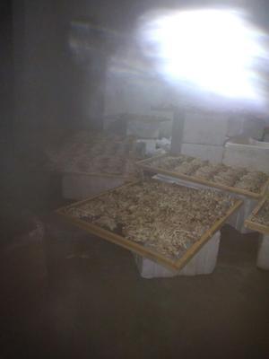 江西吉安茶树菇 10~12cm
