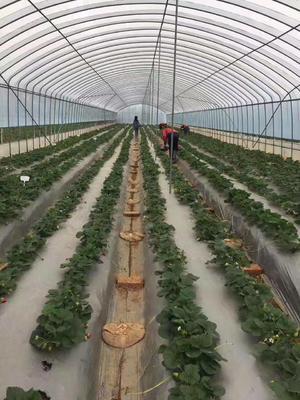 达塞草莓苗 地栽苗 20~30公分