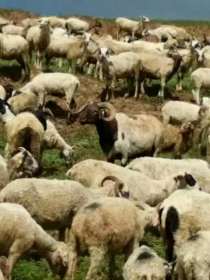 甘肃甘南羊肉 生肉 活体就买,不发货