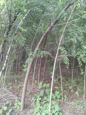 河南许昌小叶榆树