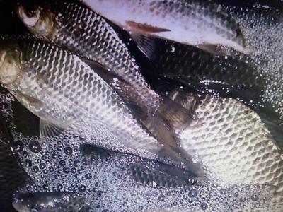 上海上海异育银鲫 0.25-1公斤 人工养殖