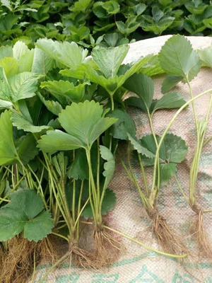 脱毒草莓苗 地栽苗 20~30公分