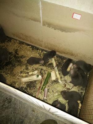 广西河池银星竹鼠 1斤以下 八两到一斤二