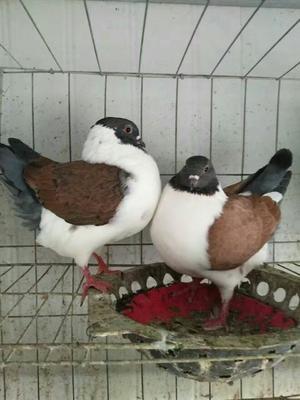 这是一张关于摩登那鸽子 800-1000克的产品图片