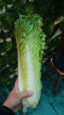 山西省晋中市太谷县秋绿60白菜 2~3斤 净菜