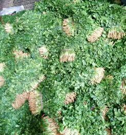 河北保定大叶香菜 20~25cm