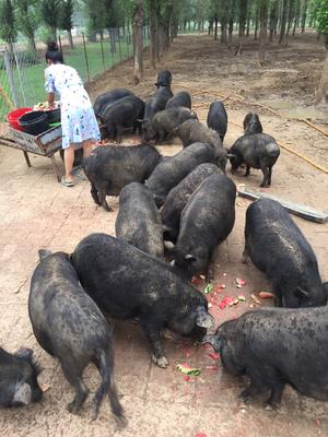 内蒙古通辽藏香猪 100斤以上