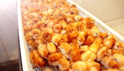 这是一张关于海兰褐蛋鸡苗的产品图片