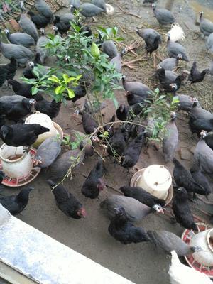 江苏南通灰色珍珠鸡 2-4斤
