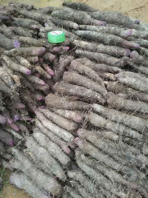 福建龙岩毛薯 5~6两