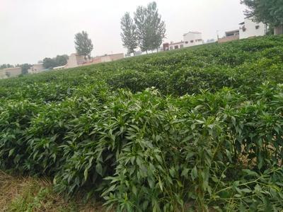 这是一张关于三樱干辣椒的产品图片