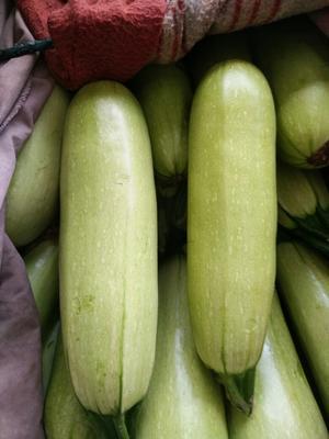 河北邯郸绿皮西葫芦 0.6~0.8斤