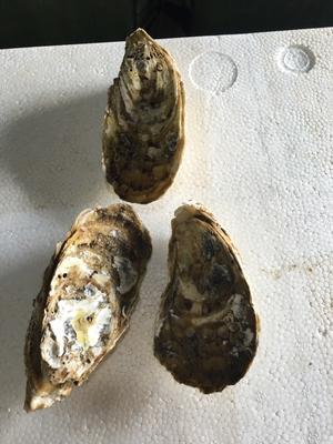 广东阳江净化蚝 1-3只/公斤 人工殖养