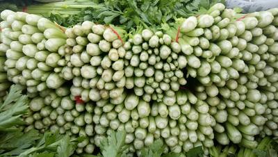 甘肃省定西市安定区毛芹 55~60cm 露天种植 1.0~1.5斤