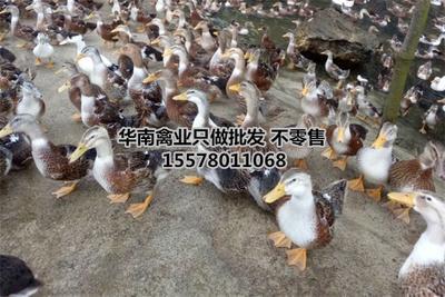 广西南宁杂交鸭苗 大种郊区花边鸭苗青头麻鸭