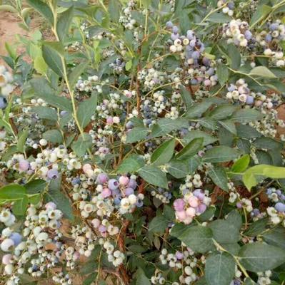 这是一张关于杜克蓝莓苗的产品图片