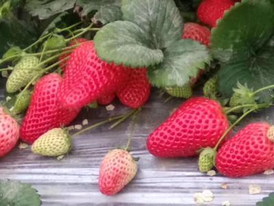 这是一张关于甜宝草莓苗 20~30公分 地栽苗的产品图片