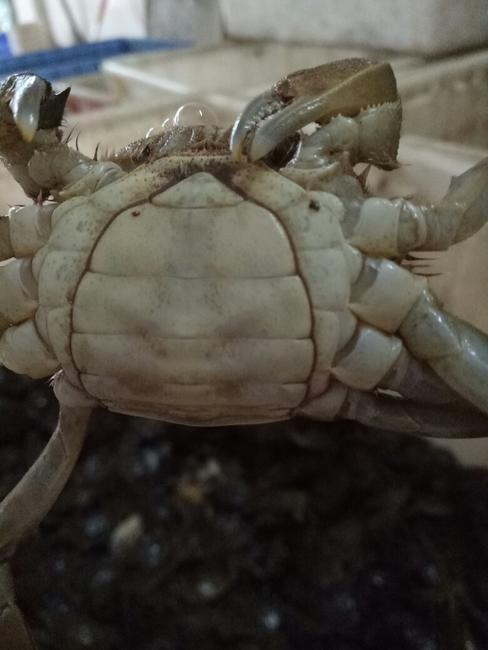 洞庭湖大闸蟹 2.0-2.5两 母蟹
