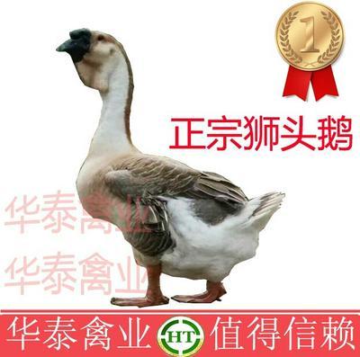 广西南宁狮头鹅苗 龙8国际官网网页版推荐诚信企业13481196311