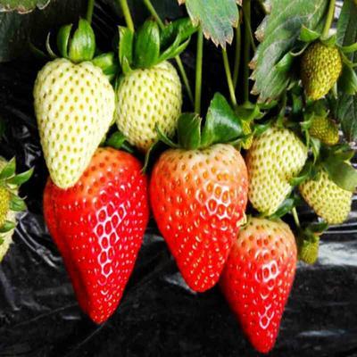 这是一张关于法兰地草莓苗 20~30公分 地栽苗的产品图片