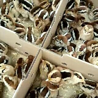 这是一张关于广东清远鸡鸡苗的产品图片
