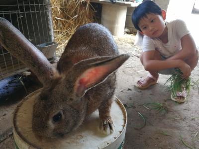 山东济宁野兔 5斤以上