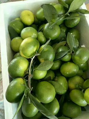 这是一张关于国庆柑橘 5 - 5.5cm 1 - 1.5两的产品图片