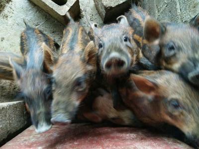 广西崇左黑山猪 100斤以上 统货