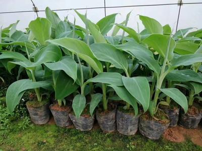 广西壮族自治区钦州市灵山县安南蕉种苗