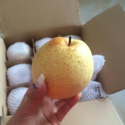 陕西咸阳礼泉酥梨 85mm以上 250-300g 一件代发10斤净重包邮