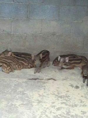 这是一张关于特种野猪 140斤以上 统货的产品图片