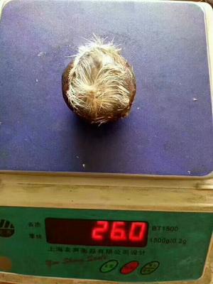 黑龙江哈尔滨麝香