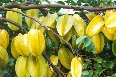 这是一张关于马来西亚甜杨桃苗 正品包邮的产品图片