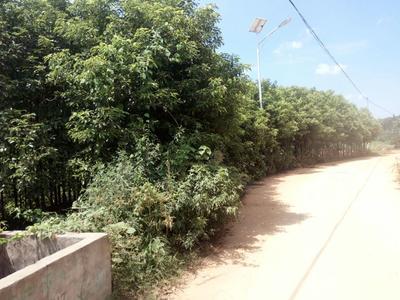 湖南长沙樟树苗