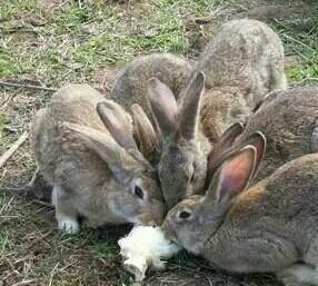 甘肃临夏肉兔 3-5斤