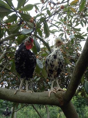 四川德阳贵妃鸡 2-3斤
