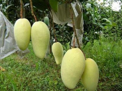 这是一张关于金煌芒果苗 四季芒南方地栽苗可带叶带土发华正品包邮的产品图片