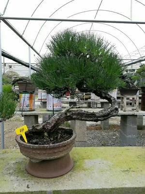 江苏宿迁造型景观树