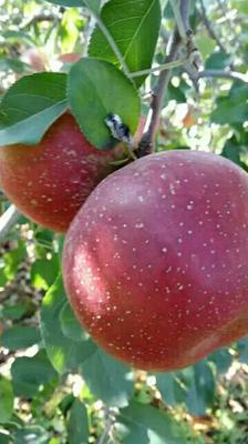 这是一张关于丑苹果 70mm以上 片红 光果的产品图片