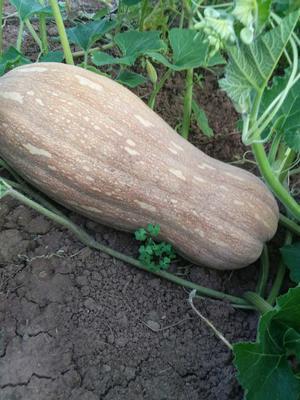 四川资阳蜜本南瓜 长条形 6~10斤 3一4斤以上