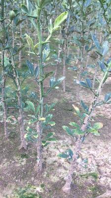 这是一张关于枳壳苗 0.5~1米 移栽苗的产品图片