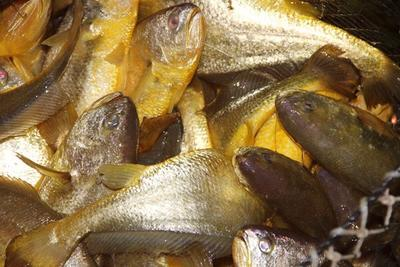 福建宁德鲳鱼 人工养殖 0.5公斤以下